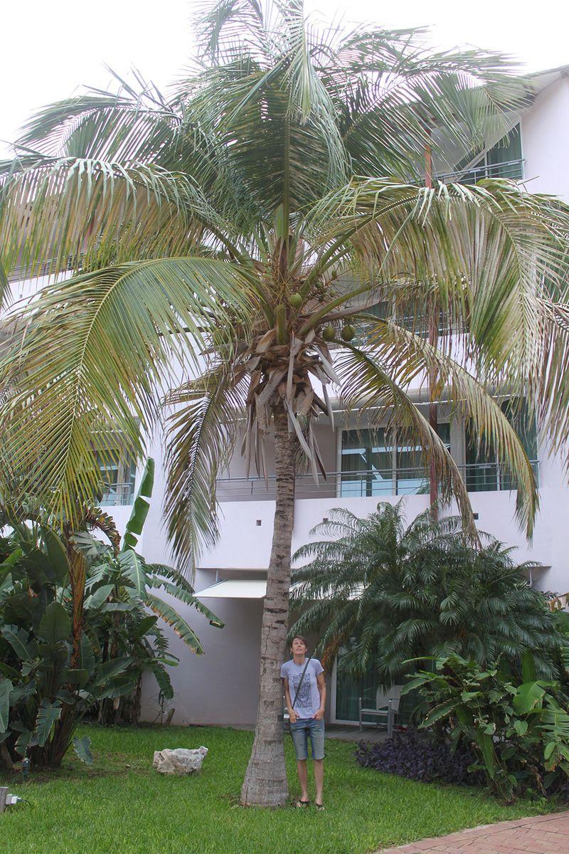 Palm tree, Curacao
