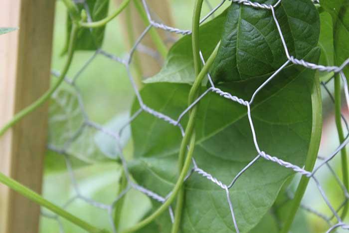 DIY hinged bean trellis
