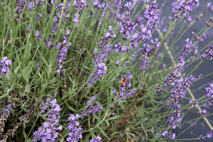 visiting a virginia lavender farm - The Homesteady